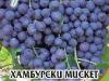 Loza_Hamburgski_Misket
