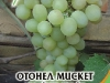 Loza_Ottonel_Misket